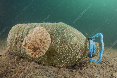 Anemone attached to plastic bottle