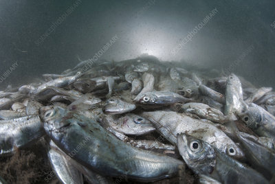 Dead Atlantic horse mackerel in polluted waters