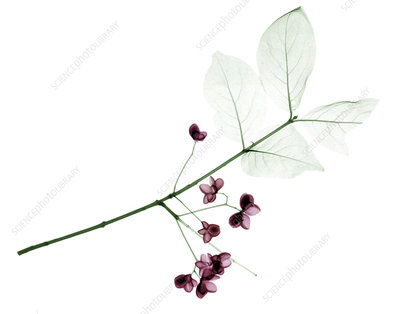 Euonymus flowers and leaves, X-ray