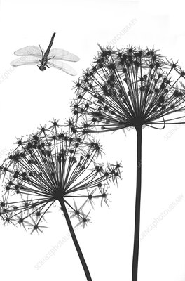 Dragonfly and Allium flowers, X-ray