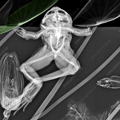 Frog with aquatic plants, X-ray