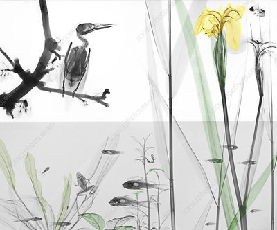 Kingfisher perched by river, X-ray