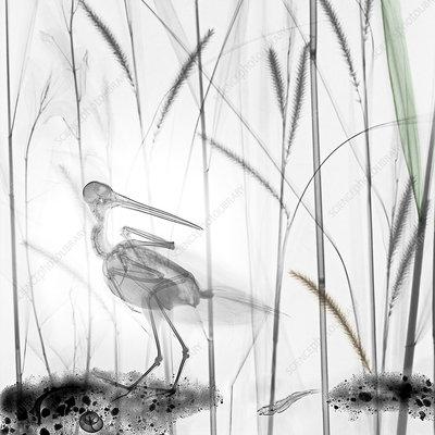 Snipe in marsh, X-ray