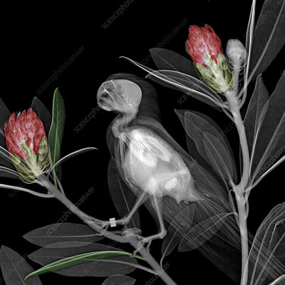 Parakeet and rhododendrons, X-ray