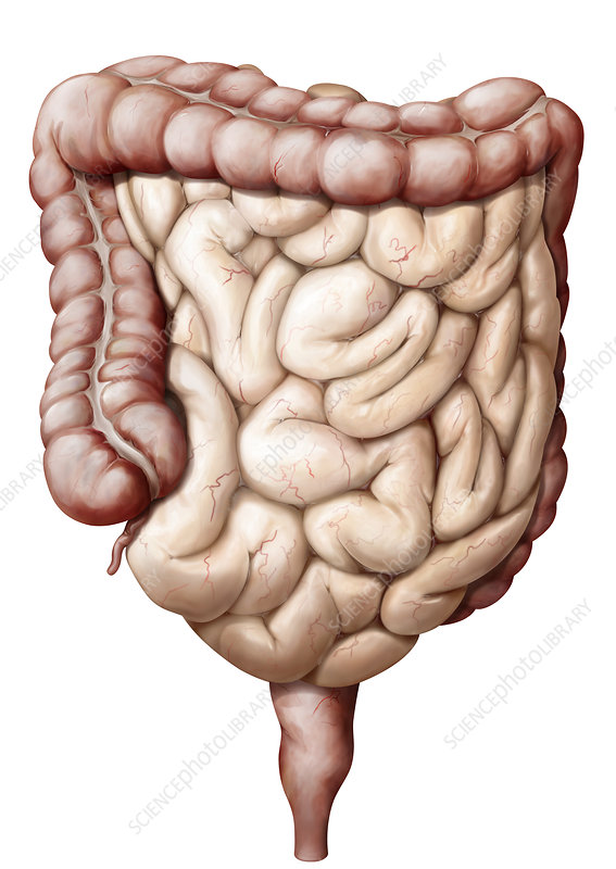 Organs of the digestive system, illustration - Stock Image C039/1740 ...