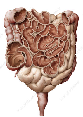 Intestine coronal view, illustration