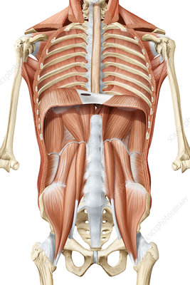 Deep trunk muscles, anterior view, illustration