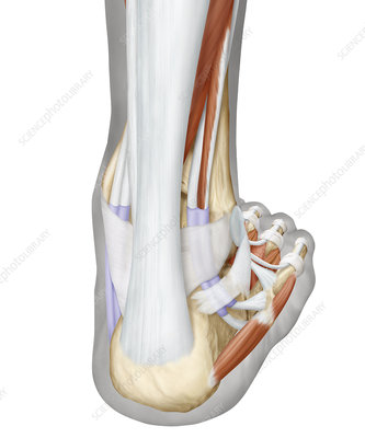 Muscles of the foot, posterior view, illustration