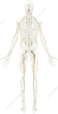 Main nerves, posterior view, illustration