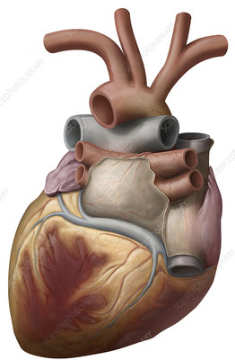 Heart, posterior view, illustration
