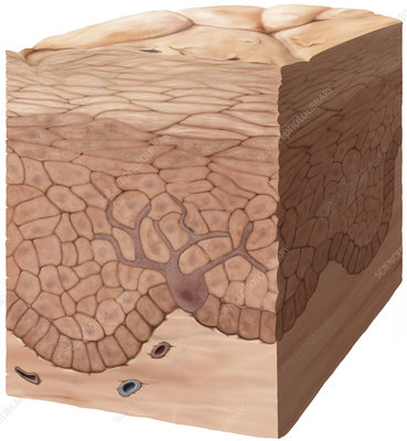 Epidermis, illustration