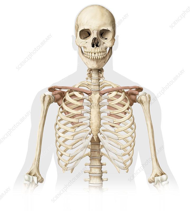 human skeleton, upper body, illustration - stock image - c039/2048 -  science photo library