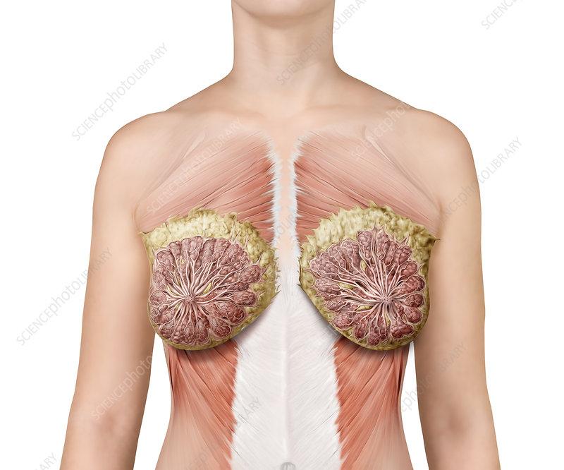 Breast anatomy, illustration - Stock Image C039/2058 - Science Photo ...