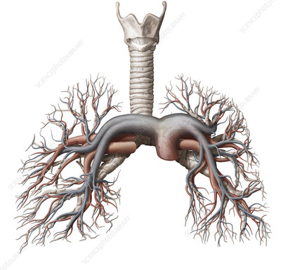 Pulmonary veins and arteries, illustration