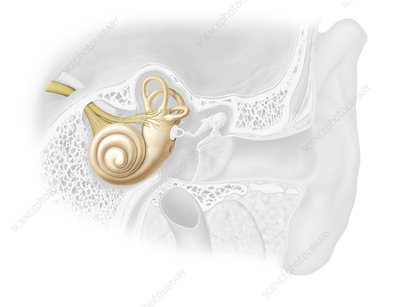 Inner ear, illustration