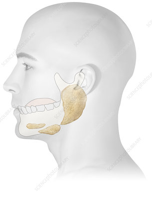 Salivary gland, illustration