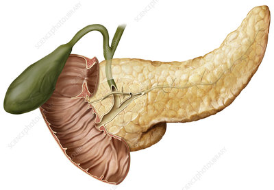 Cross section of the pancreatic duct, illustration