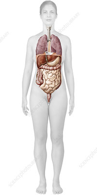 Respiratory and digestive systems, illustration
