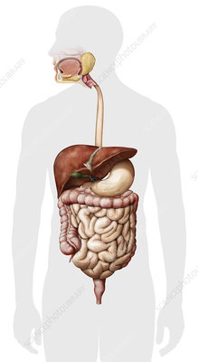 Overview of the digestive system, illustration