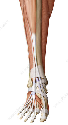 Muscle of the foot, illustration