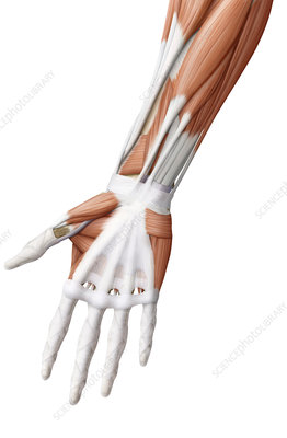 Muscle of the hand, illustration
