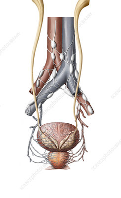 Organs of the male urinary system, illustration