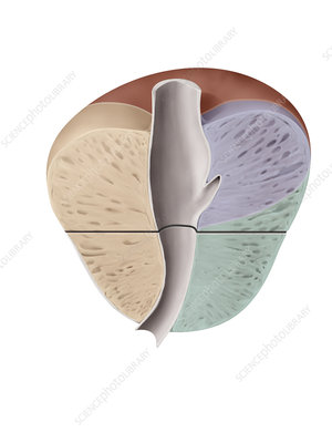 Cross section of the prostate, illustration