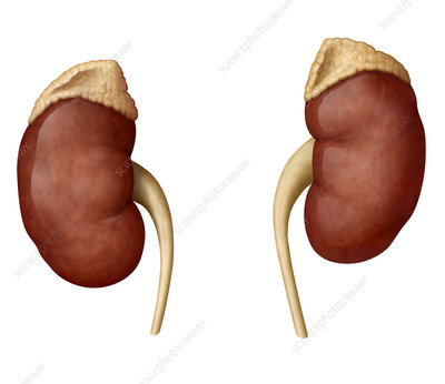 Kidneys, illustration