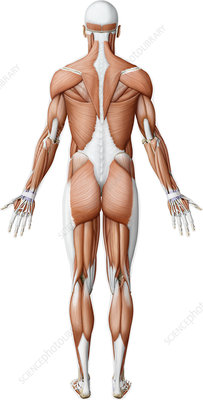 Main muscles of the body, illustration