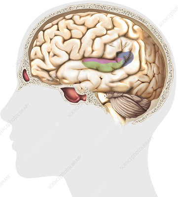 Auditory cortex, illustration