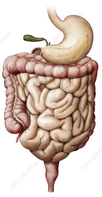 Organs of the Digestive System, illustration