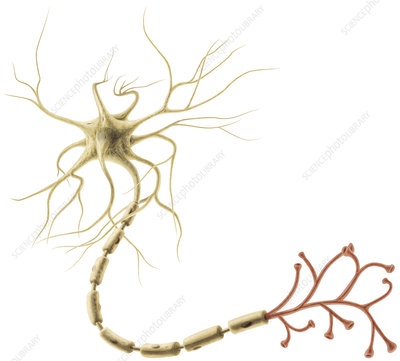 Multipolar Neuron, illustration