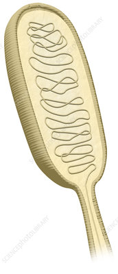 Meissner's Corpuscle, illustration
