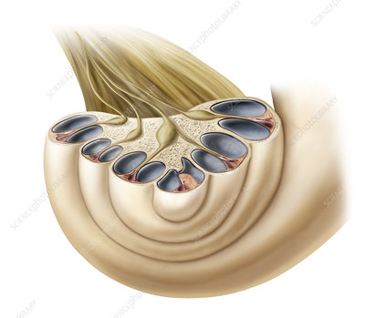 Cochlea Cross Section Illustration