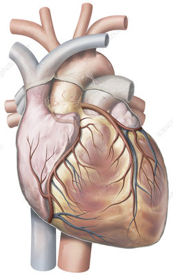 Heart, Anterior View, illustration