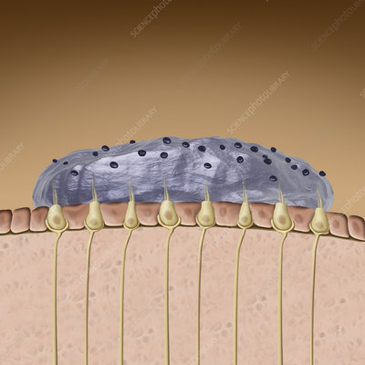 Otolith, illustration