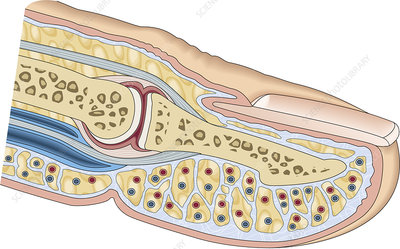 Cross section of a finger, illustration