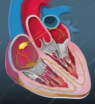 Sinoatrial node, illustration