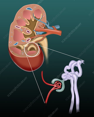 Kidney and glomerular filtration, illustration