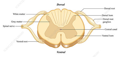 Spinal Cord, illustration