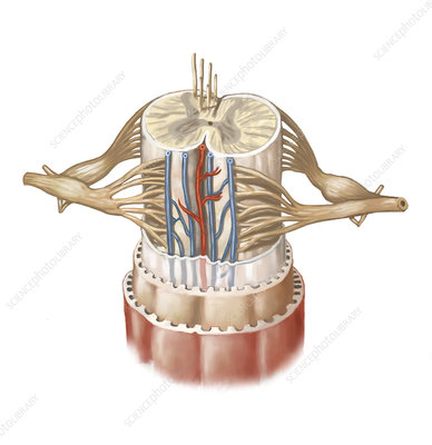 Spinal Cord Anatomy, illustration