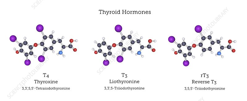 Thyroid Hormones Molecular Structures Stock Image C039 4547