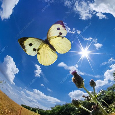 Large White butterfly, high-speed fish-eye lens image