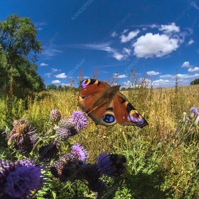 Peacock butterfly, high-speed fish-eye lens image