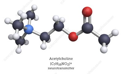Acetylcholine neurotransmitter, molecular model