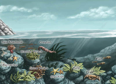Tide pool ecosystem, illustration