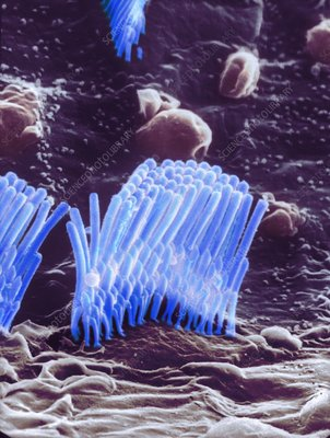 Human ear hair cell, SEM