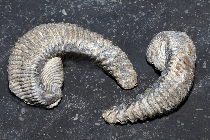 Fossil oysters