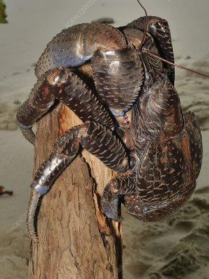 Coconut crab, Indonesia