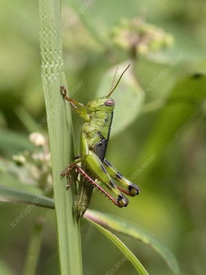 Grasshopper on blade of grass, Indonesia